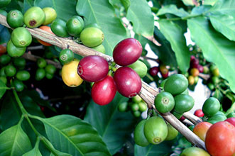 coffee-cherry
