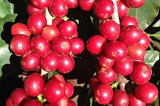 coffee-cherry
